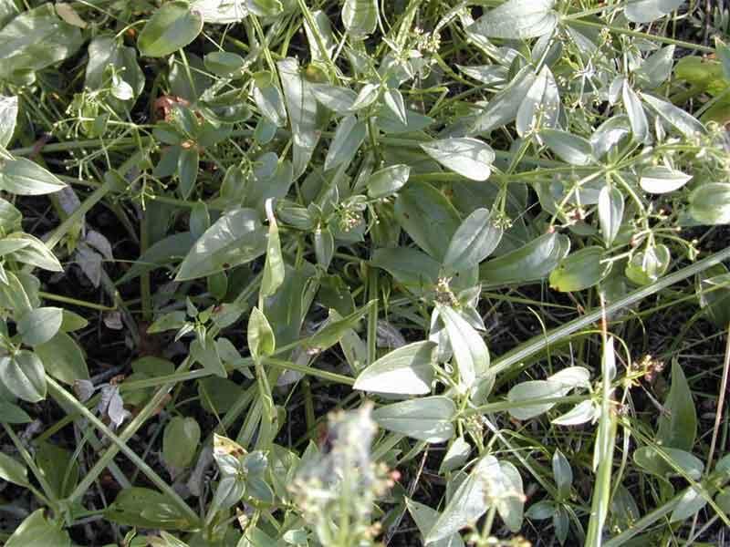 rubia tinctorum root extract